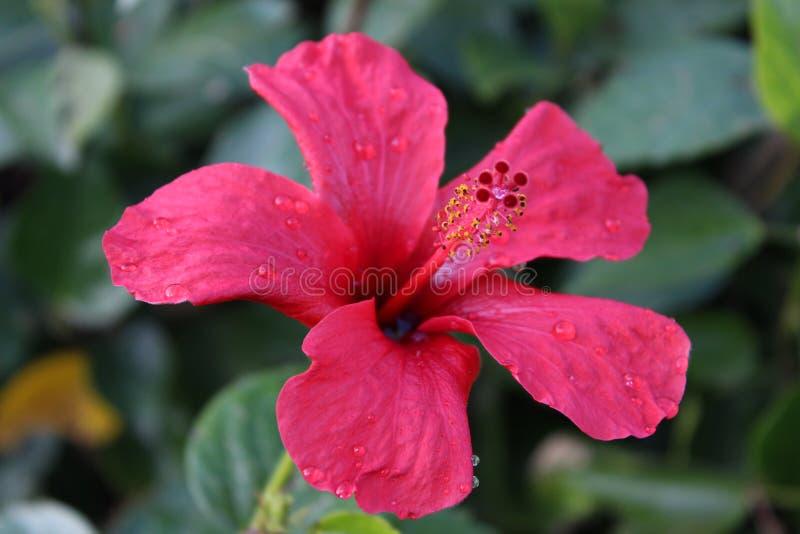 Όμορφο hibiscus λουλούδι στη δροσιά πρωινού στοκ εικόνες