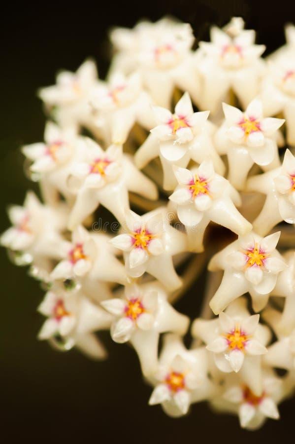 Όμορφο Hoya parasitica Roxb Τοίχος Πρώην Wight με το νέκταρ Απομονώστε το άσπρο λουλούδι στο μαύρο υπόβαθρο Φανταστική σύσταση έξ στοκ εικόνες