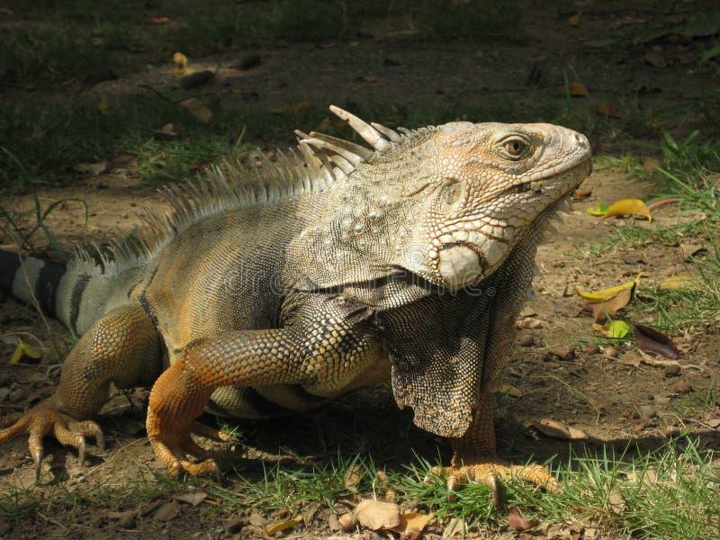 Όμορφο iguana πράσινο στοκ φωτογραφία με δικαίωμα ελεύθερης χρήσης