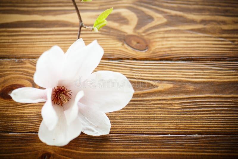 όμορφο magnolia λουλουδιών στοκ φωτογραφίες με δικαίωμα ελεύθερης χρήσης