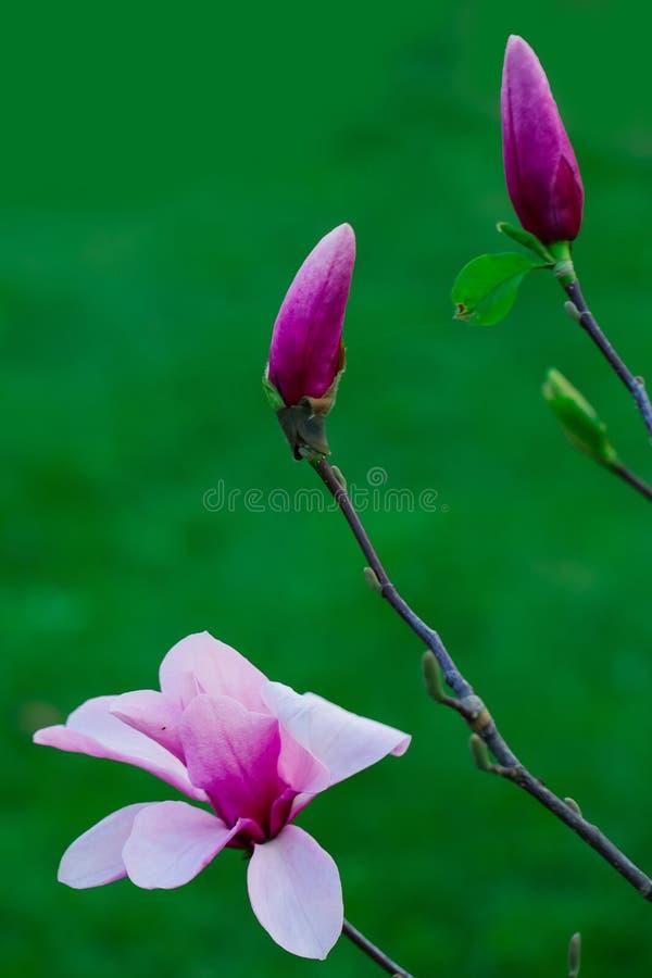 όμορφο magnolia λουλουδιών στοκ φωτογραφία με δικαίωμα ελεύθερης χρήσης