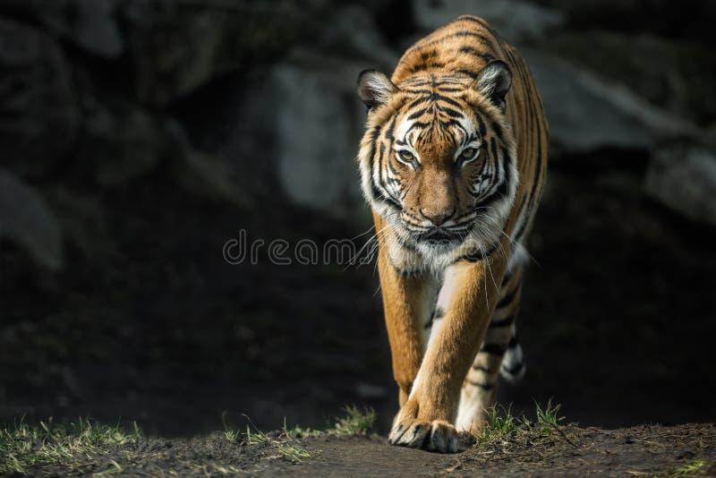 Όμορφο malayan θηλυκό τιγρών που περπατά κατ' ευθείαν στοκ εικόνες
