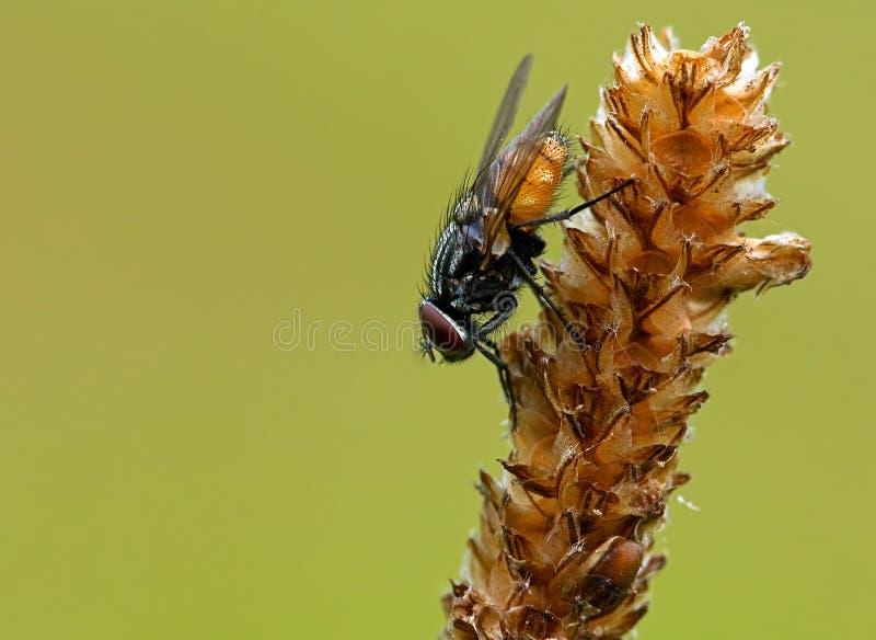 όμορφο musca ανασκόπησης autumnalis στοκ φωτογραφία