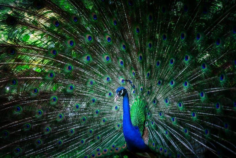 Όμορφο peacock με τα φτερά στοκ εικόνα με δικαίωμα ελεύθερης χρήσης