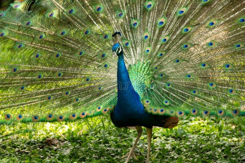 Όμορφο Peacock με την ανοικτή ουρά στοκ εικόνα