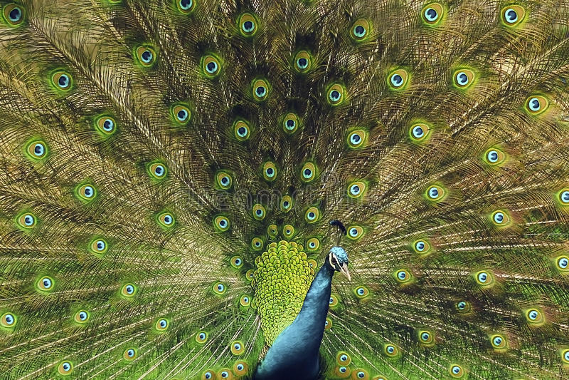 όμορφο peacock στοκ εικόνα