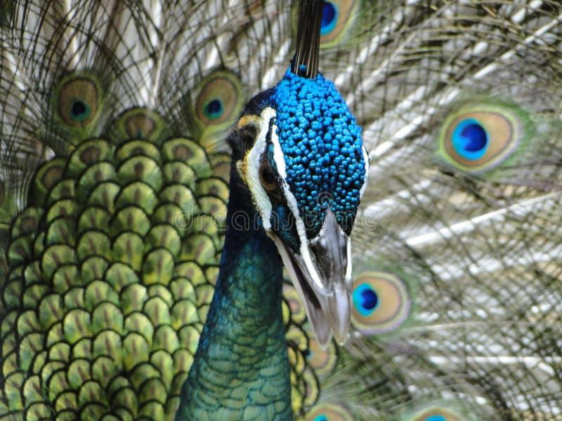 Όμορφο Peacock στοκ φωτογραφία