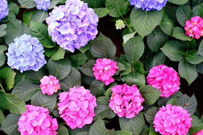 Όμορφο Pinks φύσης λουλούδι στον κήπο φύσης στοκ εικόνα με δικαίωμα ελεύθερης χρήσης