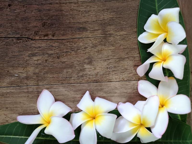 όμορφο plumeria στοκ φωτογραφίες με δικαίωμα ελεύθερης χρήσης