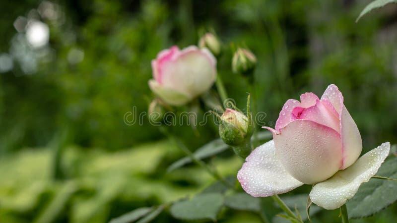 όμορφο redand ο λευκός ροδαλός Μπους των κόκκινων και άσπρων τριαντάφυλλων στοκ φωτογραφία με δικαίωμα ελεύθερης χρήσης