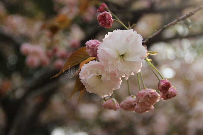 Όμορφο sakura στοκ εικόνα