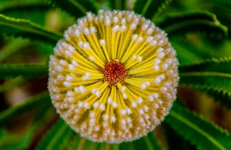 Όμορφο spinulosa Banksia ή παράκτιο λουλούδι μαξιλαριών στοκ φωτογραφία με δικαίωμα ελεύθερης χρήσης