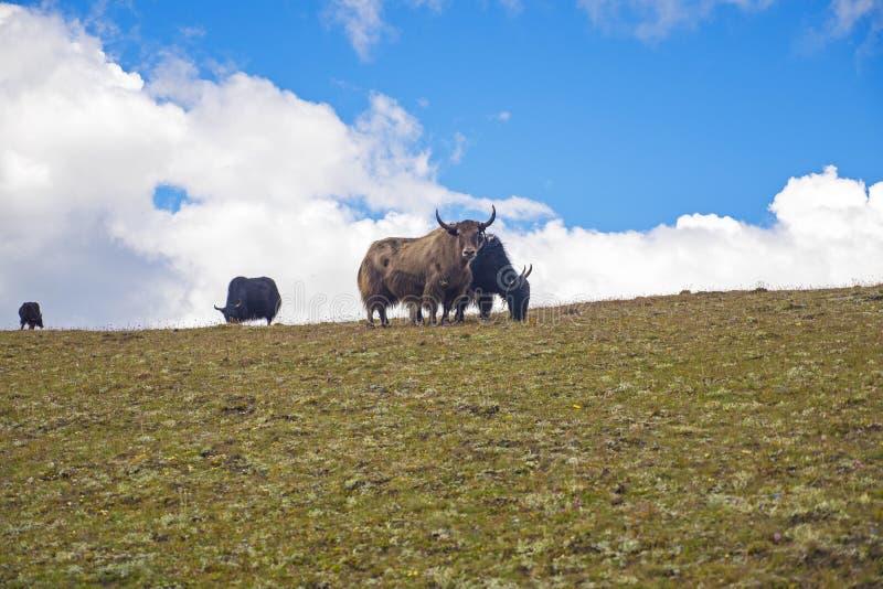 Όμορφο Yaks στο λιβάδι Tagong, Sichuan επαρχία, Κίνα στοκ φωτογραφία με δικαίωμα ελεύθερης χρήσης