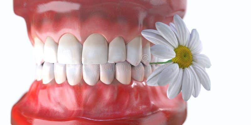 δόντια με την έννοια οδοντικής υγείας ιατρικής λουλουδιών διανυσματική απεικόνιση