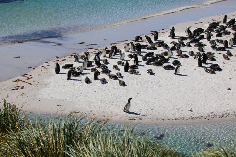Όρμος τσιγγάνων αποικιών Magellanic penguin, Νησιά Φόλκλαντ στοκ εικόνα με δικαίωμα ελεύθερης χρήσης