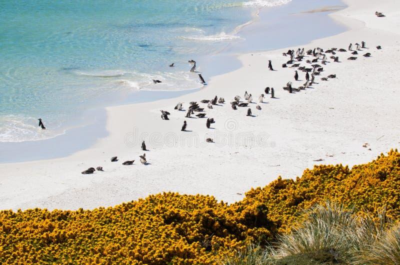 Όρμος τσιγγάνων αποικιών Magellanic penguin στοκ φωτογραφία