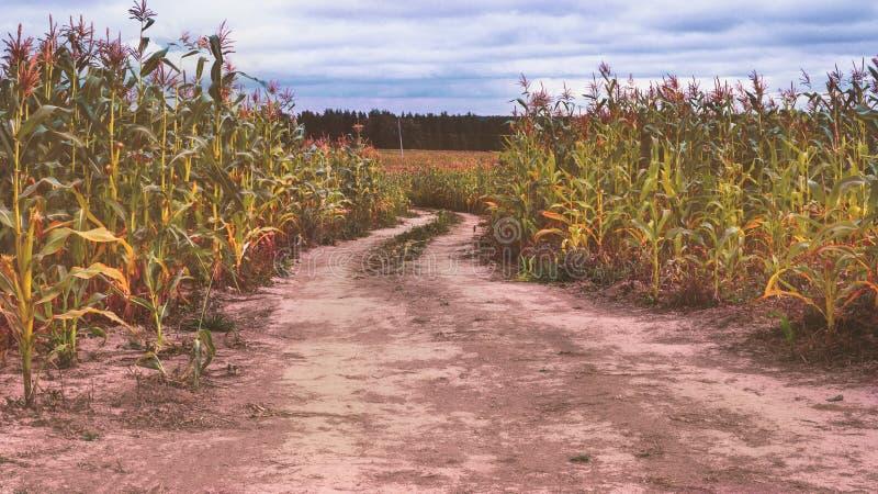 λόφος πεδίων βραδιού καλαμποκιού ανασκόπησης στοκ φωτογραφία με δικαίωμα ελεύθερης χρήσης