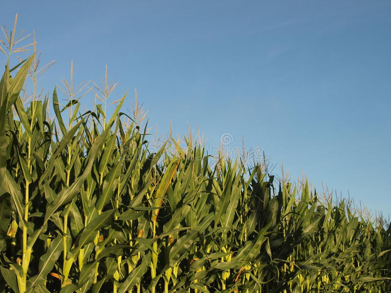 λόφος πεδίων βραδιού καλαμποκιού ανασκόπησης στοκ φωτογραφίες με δικαίωμα ελεύθερης χρήσης