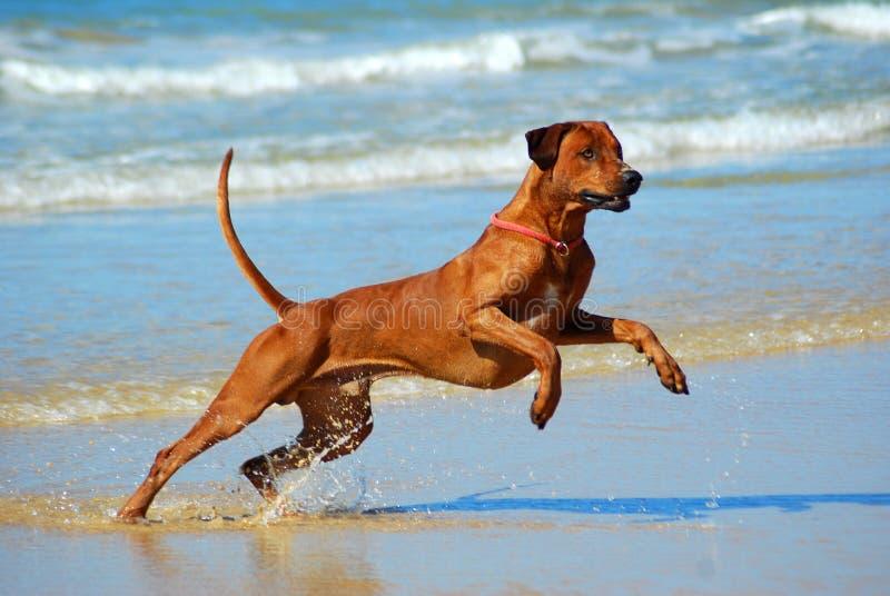 ύδωρ άλματος σκυλιών στοκ εικόνα με δικαίωμα ελεύθερης χρήσης