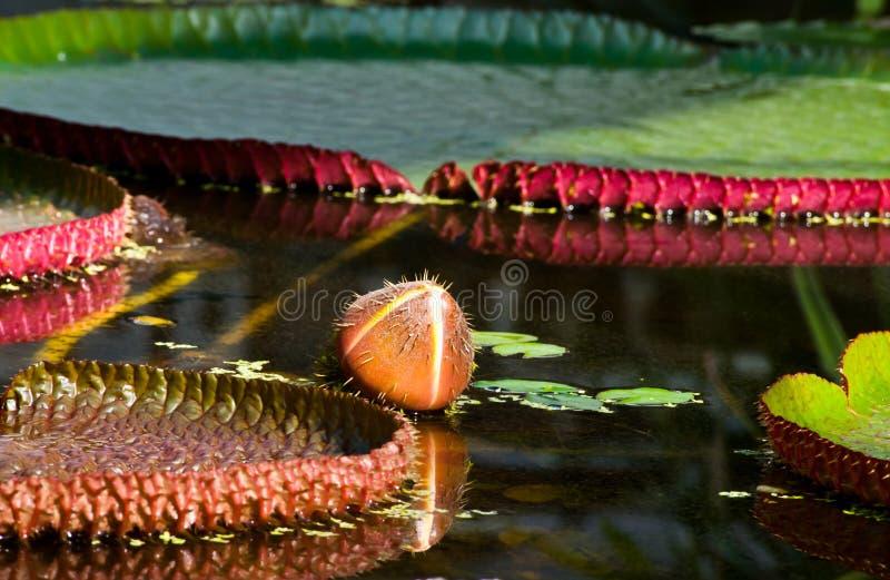 ύδωρ Βικτώριας οφθαλμών amazonica στοκ εικόνα με δικαίωμα ελεύθερης χρήσης