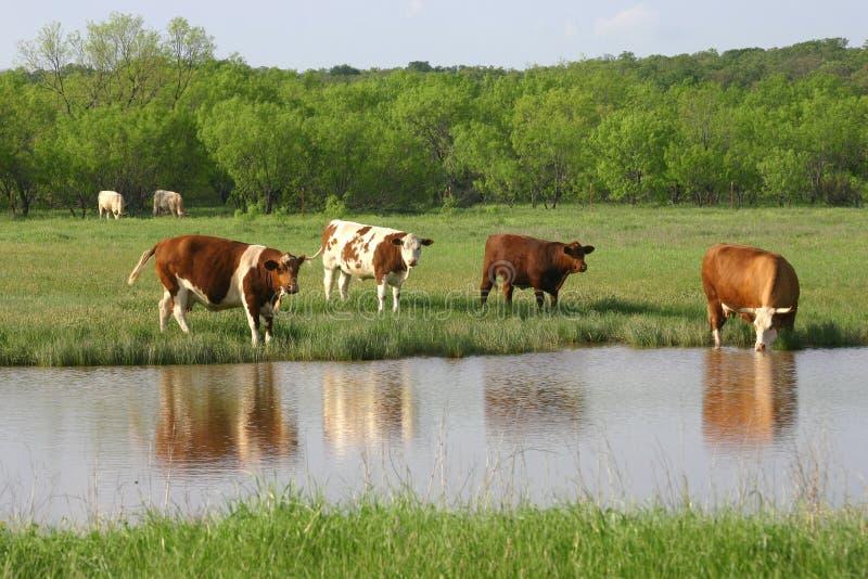 ύδωρ βοοειδών στοκ φωτογραφίες