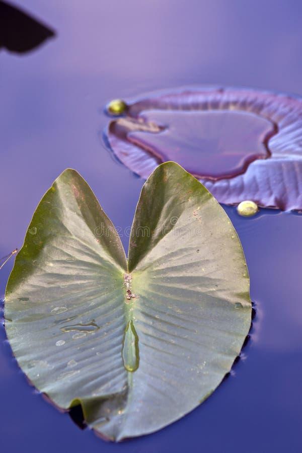 ύδωρ ελεφάντων αυτιών στοκ εικόνα