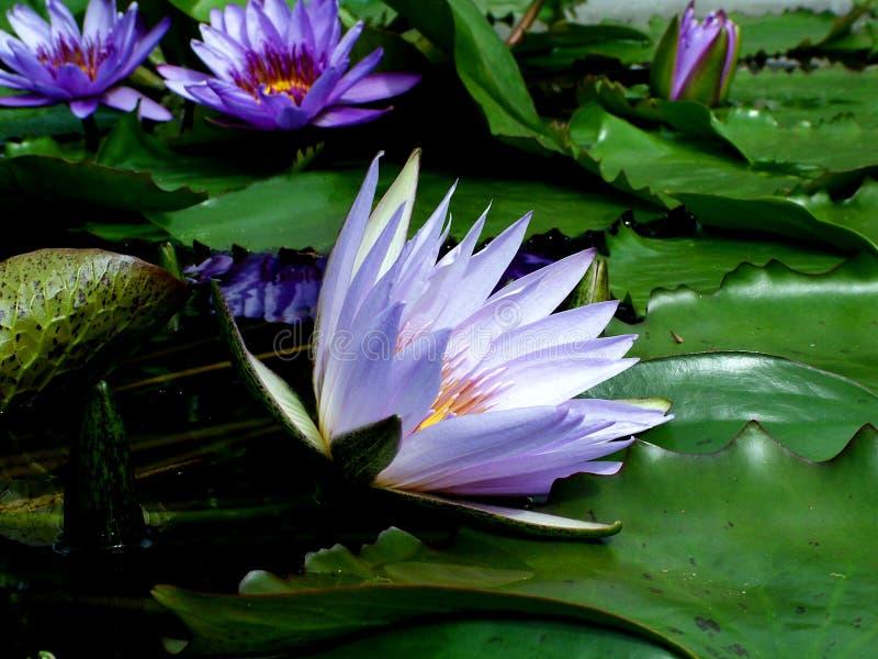 Download ύδωρ κρίνων στοκ εικόνα. εικόνα από φυτό, ύδωρ, μακροεντολή - 113403