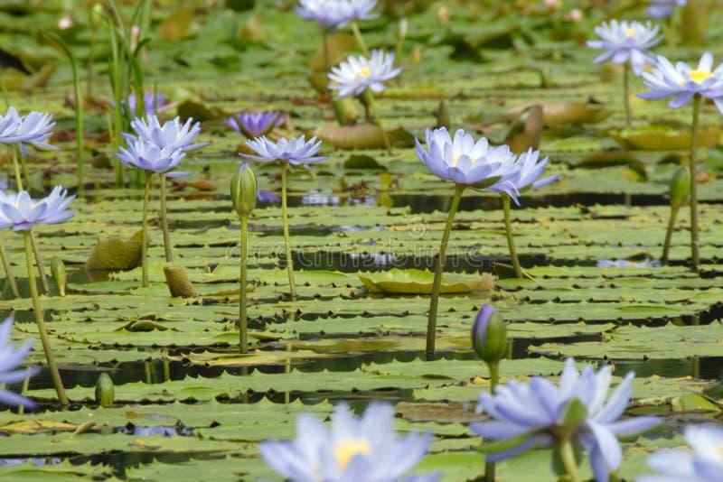 ύδωρ λουλουδιών εν αφθονία lilly στοκ φωτογραφίες