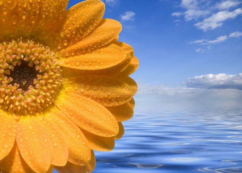 ύδωρ λουλουδιών calendula στοκ εικόνα με δικαίωμα ελεύθερης χρήσης