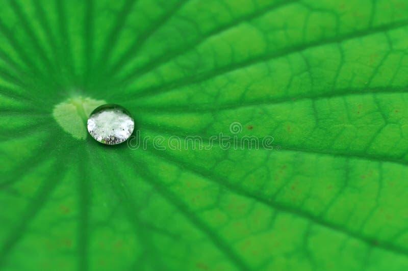 ύδωρ λωτού φύλλων απελε&upsilo στοκ φωτογραφίες με δικαίωμα ελεύθερης χρήσης