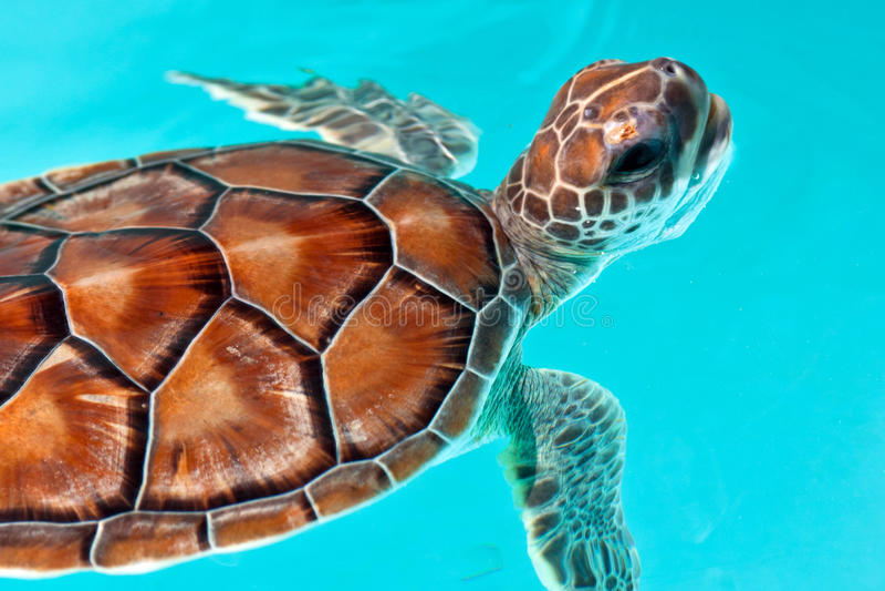 ύδωρ χελωνών μωρών στοκ φωτογραφία με δικαίωμα ελεύθερης χρήσης