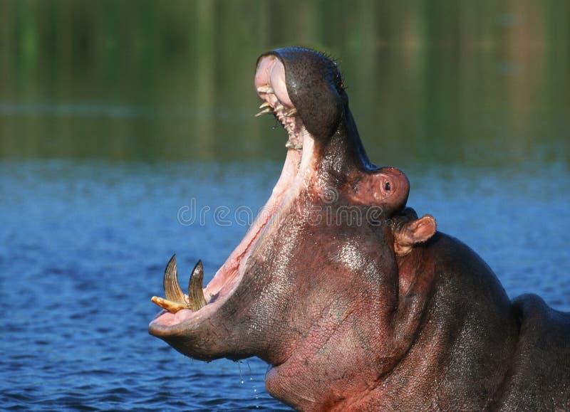 ύδωρ hippopotamus στοκ εικόνες με δικαίωμα ελεύθερης χρήσης