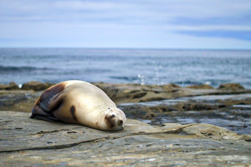 λύκος 2 θάλασσας στοκ εικόνα με δικαίωμα ελεύθερης χρήσης