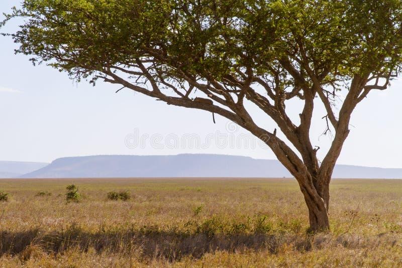 Ύπνοι λεοπαρδάλεων σε ένα δέντρο στοκ φωτογραφίες με δικαίωμα ελεύθερης χρήσης