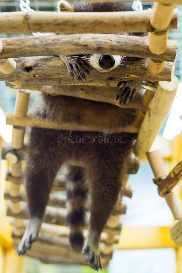 Ύπνοι μικροί ρακούν σε μια ξύλινη σκάλα, κατώτατη άποψη στοκ φωτογραφίες με δικαίωμα ελεύθερης χρήσης