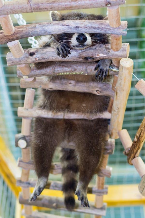 Ύπνοι μικροί ρακούν σε μια ξύλινη σκάλα, κατώτατη άποψη στοκ εικόνες