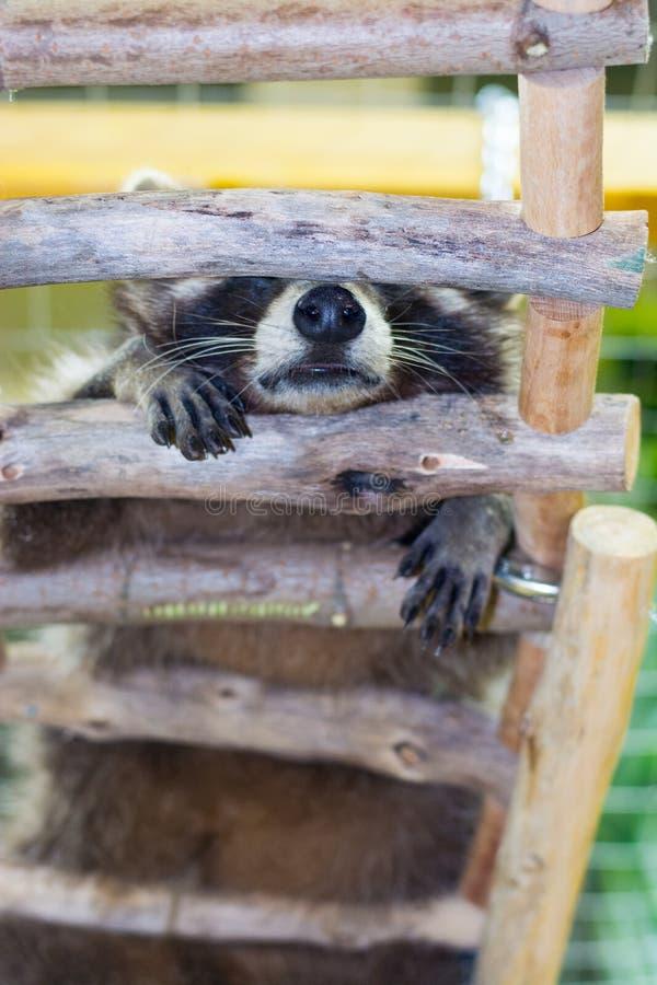 Ύπνοι μικροί ρακούν σε μια ξύλινη σκάλα, κατώτατη άποψη στοκ φωτογραφία