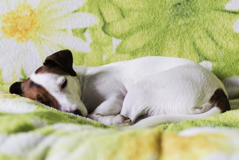 Ύπνοι τεριέ του Jack Russell στον καναπέ στοκ εικόνες