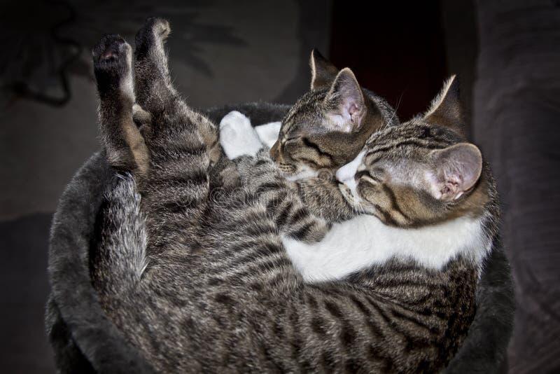 ύπνος γατών στοκ εικόνα με δικαίωμα ελεύθερης χρήσης