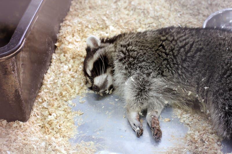 Ύπνος ρακούν σε ένα κλουβί στοκ φωτογραφία