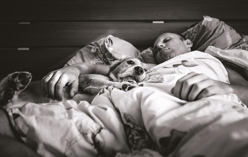 Ύπνος σκυλιών λαγωνικών στο κρεβάτι με τη γραπτή εικόνα ιδιοκτητών του στοκ φωτογραφίες με δικαίωμα ελεύθερης χρήσης