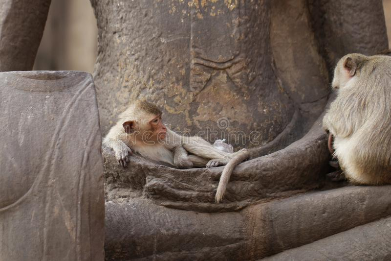 Ύπνος συνεδρίασης πιθήκων παιδιών στο αρχαίο άγαλμα χεριών του Βούδα, ειλικρινής ζωική εικόνα άγριας φύσης που περιμένει τα τρόφι στοκ εικόνα