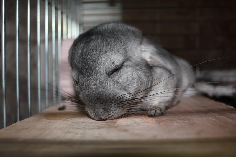 ύπνος τσιντσιλά στοκ εικόνες με δικαίωμα ελεύθερης χρήσης