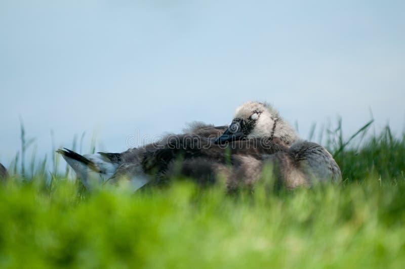 ύπνος χηναριών στοκ φωτογραφίες με δικαίωμα ελεύθερης χρήσης