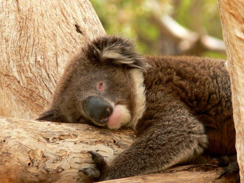 Download ύπνος στοκ εικόνα. εικόνα από marsupial, τοποθέτηση, λαβή - 1536279