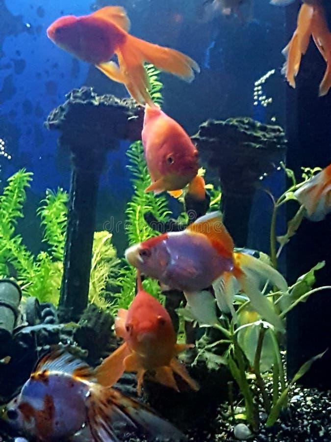 Ύπνος goldfish στοκ φωτογραφίες