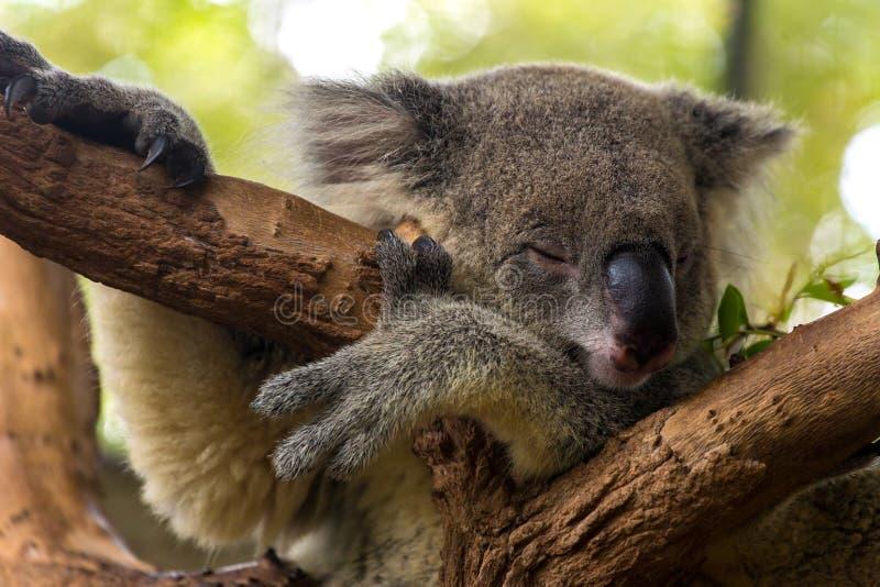 Ύπνος Koala σε ένα δέντρο στοκ εικόνα