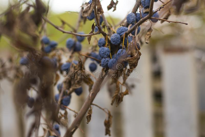 Ώριμα δαμάσκηνα στο δέντρο Δέντρο δαμάσκηνων Πορφυρά φρούτα στοκ εικόνες με δικαίωμα ελεύθερης χρήσης