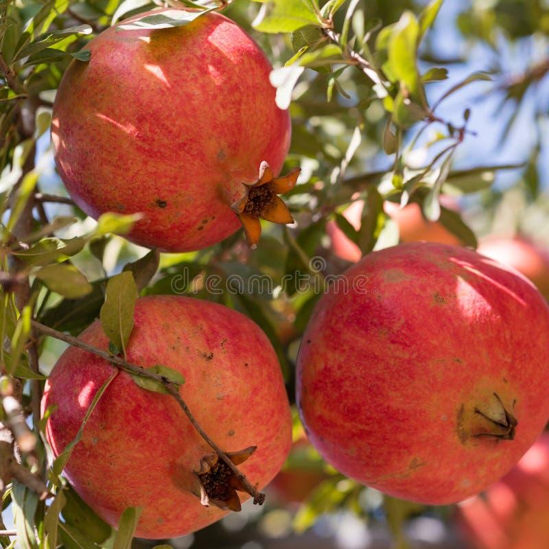 Ώριμα ζωηρόχρωμα φρούτα ροδιών στον κλάδο δέντρων Κόκκινο ρόδι στοκ εικόνες