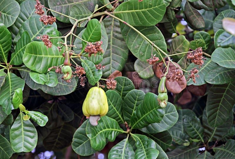 Ώριμα και Unripe καρύδια των δυτικών ανακαρδίων στο δέντρο στοκ φωτογραφία με δικαίωμα ελεύθερης χρήσης